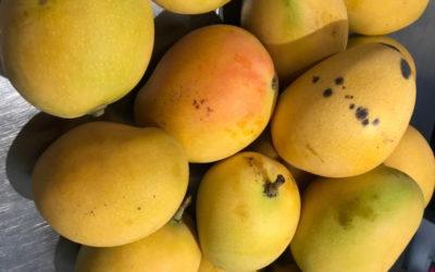 Sorbetto fatto con i manghi raccolti in Sicilia